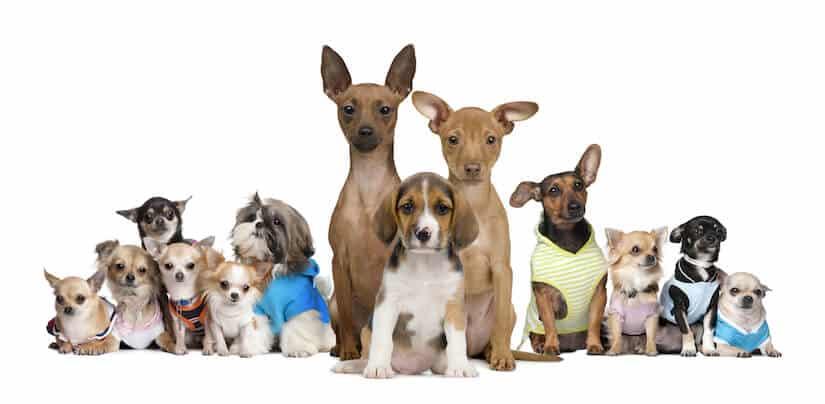 Kleine Hunderassen die nicht Haaren