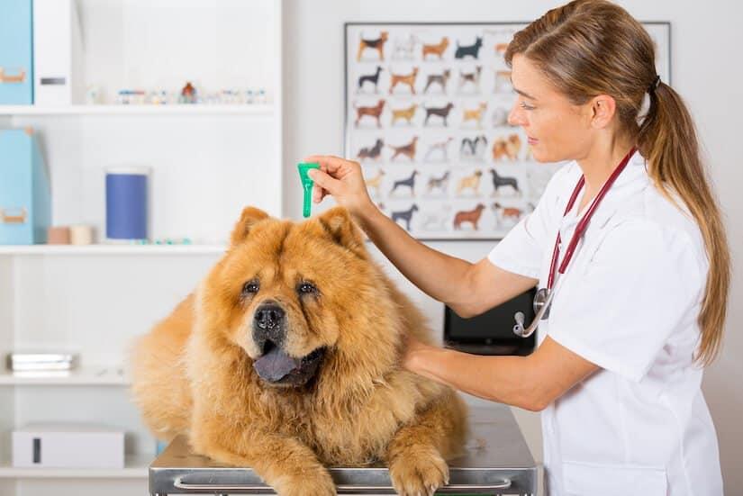 Leishmaniose beim Hund