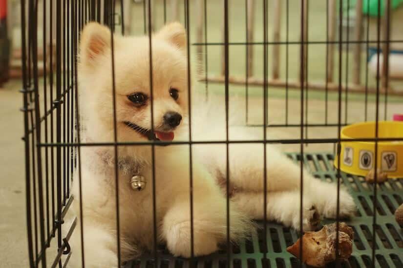 Zwergspitz in einer Hundegitterbox