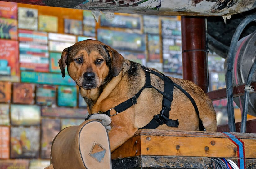 Alter Hund mit einer Tragehilfe