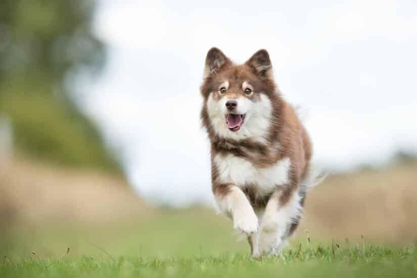Brauner Finnischer Lapphund Welpe