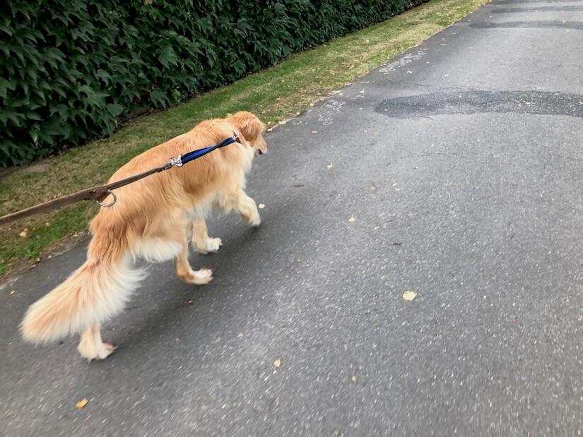 Floxik Premium Rückdämpfer für Hundeleine im Praxistest