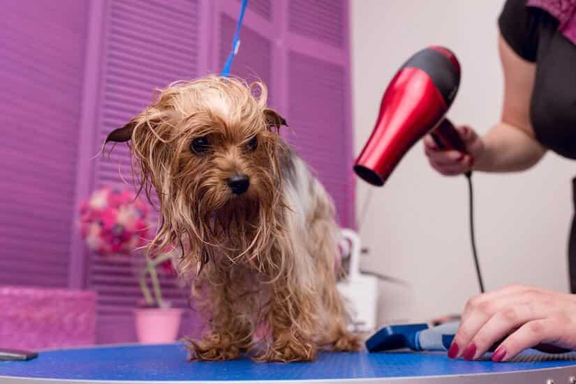 Hund wird beim Hundefriseur mit einem Hundefön getrocknet