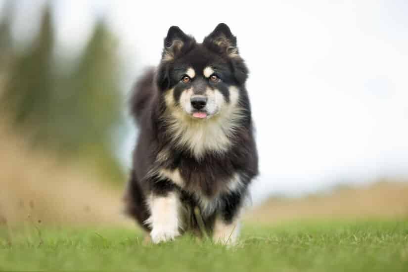 Schwarzer Finnischer Lapphund