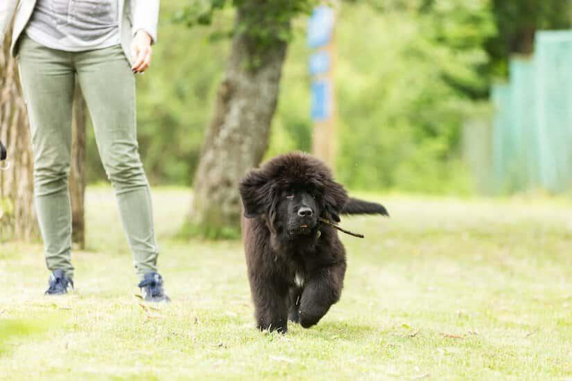Schwarzer Neufundländer Welpe beim Spielen auf dem Rasen