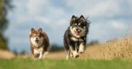 Zwei Finnische Lapphunde