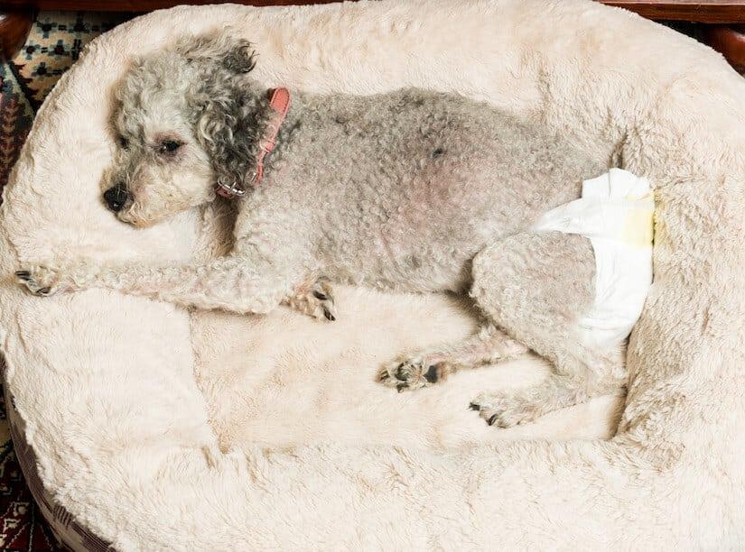 Älterer Hund mit einer Inkontinenzhose