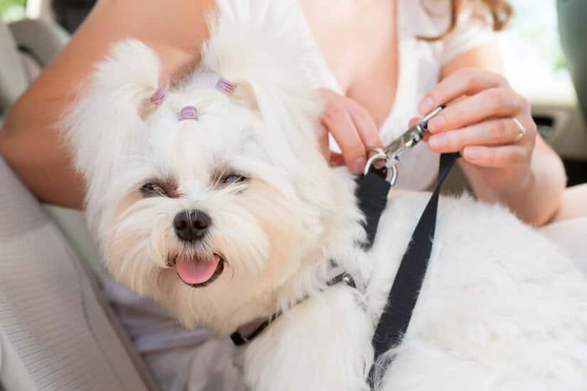 Der Hund muss im Auto mit einem Anschnallgurt für Hunde gesichert werden