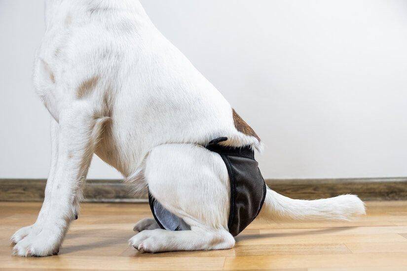 Hund mit einer Inkontinenzhose
