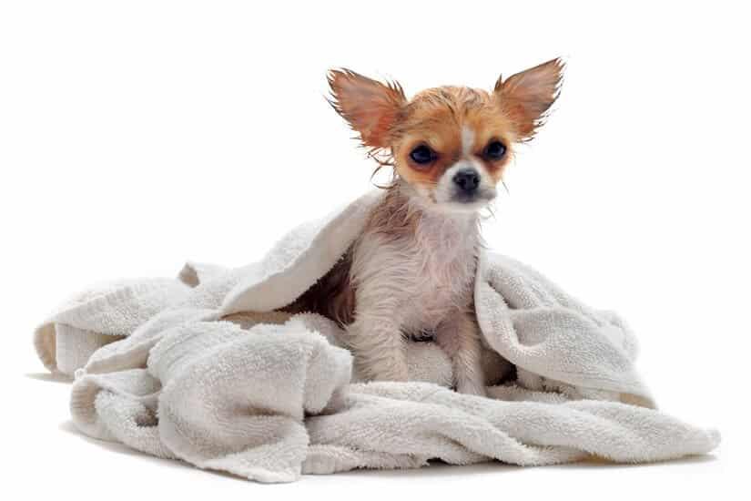 Hund nach dem Baden mit einem Hundehandtuch