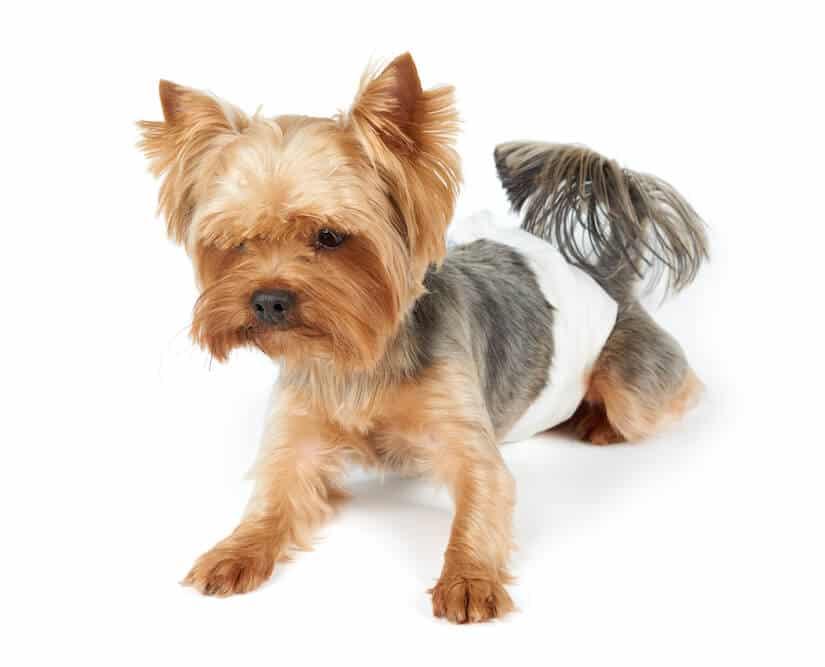 Inkontinenter Hund mit einer Windel als Inkontinenzhose
