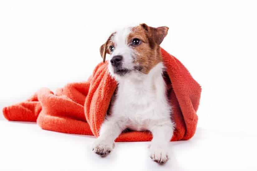 Jack Russel mit einem Hundehandtuch bedeckt