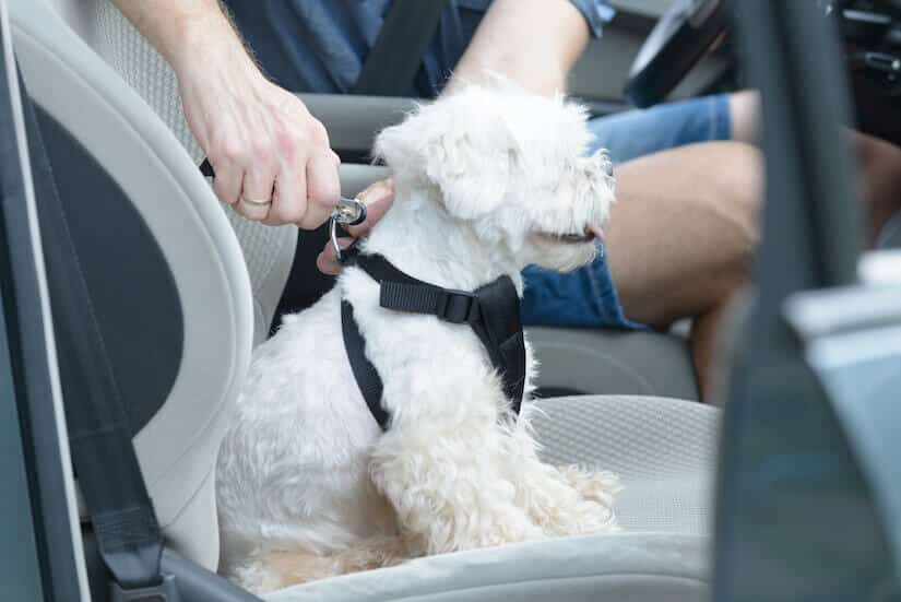 Malteser mit Auto Anschnallgurt für Hunde