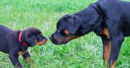 Rottweiler Welpe mit Mutter auf dem Rasen