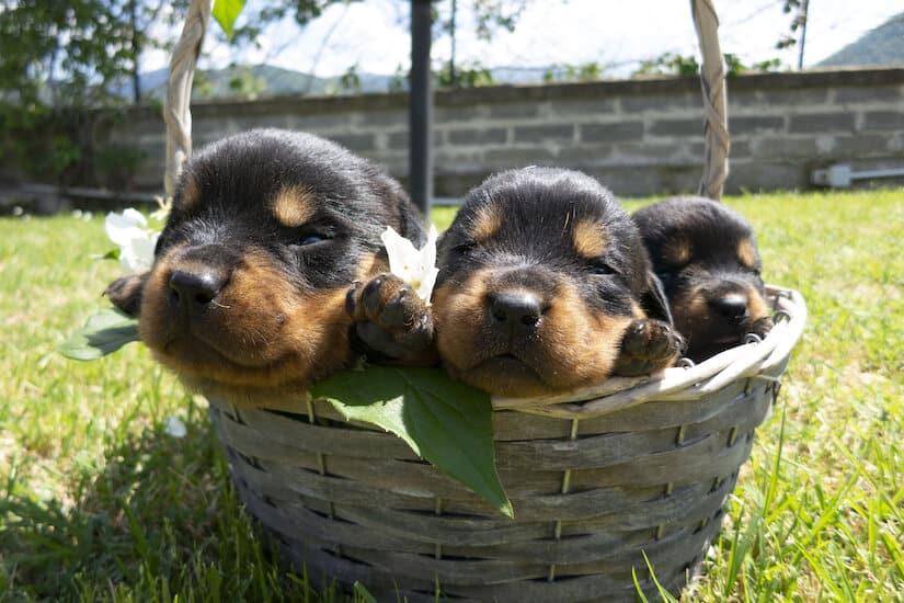 Rottweiler Welpen in einem Körbchen