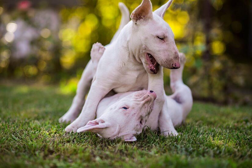 Bullterrier Wesen