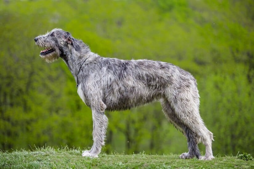 Der Irish Wolfhound