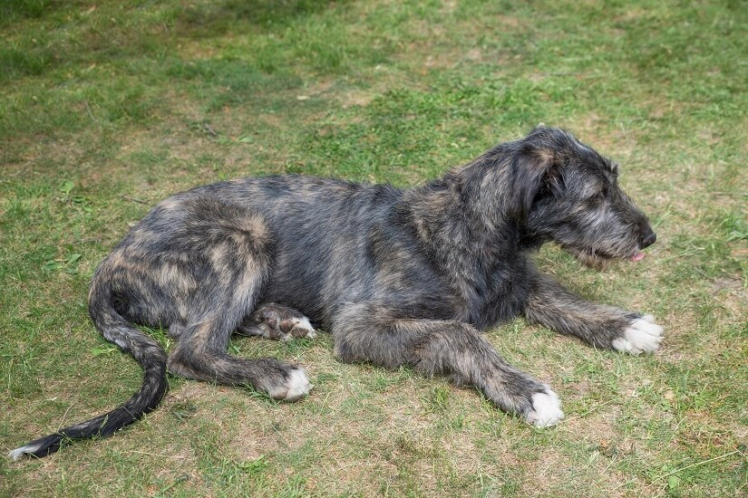 Irish Wolfhound kaufen