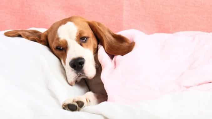 Salmonellen beim Hund Symptome