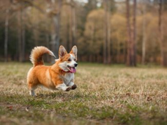 der Welsh Corgi