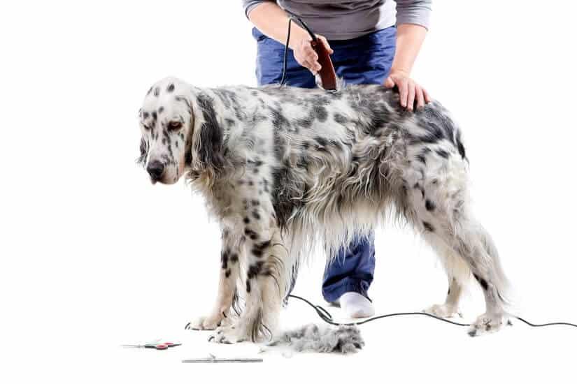 Hund mit Räude wird geschoren