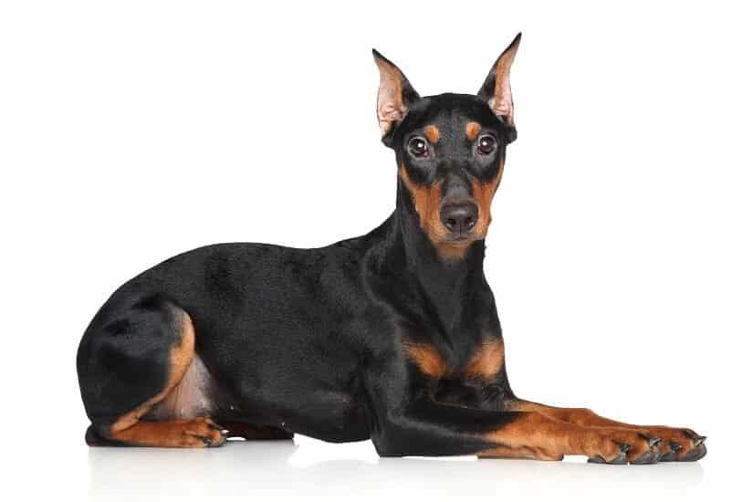 Wachhund macht der Dobermann eine gute Figur!