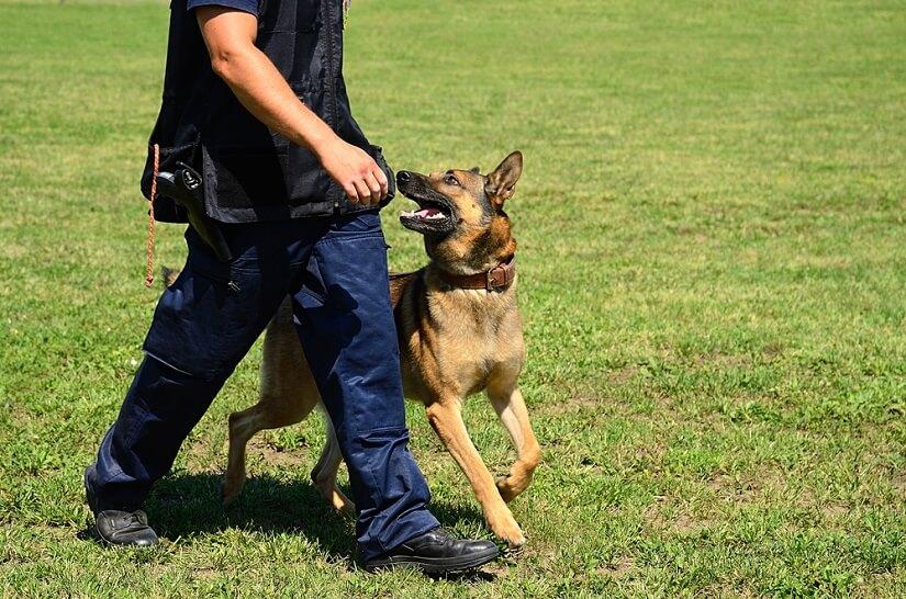 Der Wachhund: hierfür werden gern Schäferhund eingesetzt