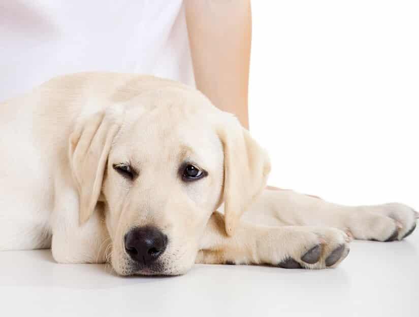 Die Arthrose beim Hund