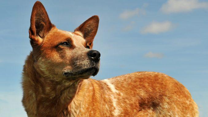Der Australian Cattle Dog