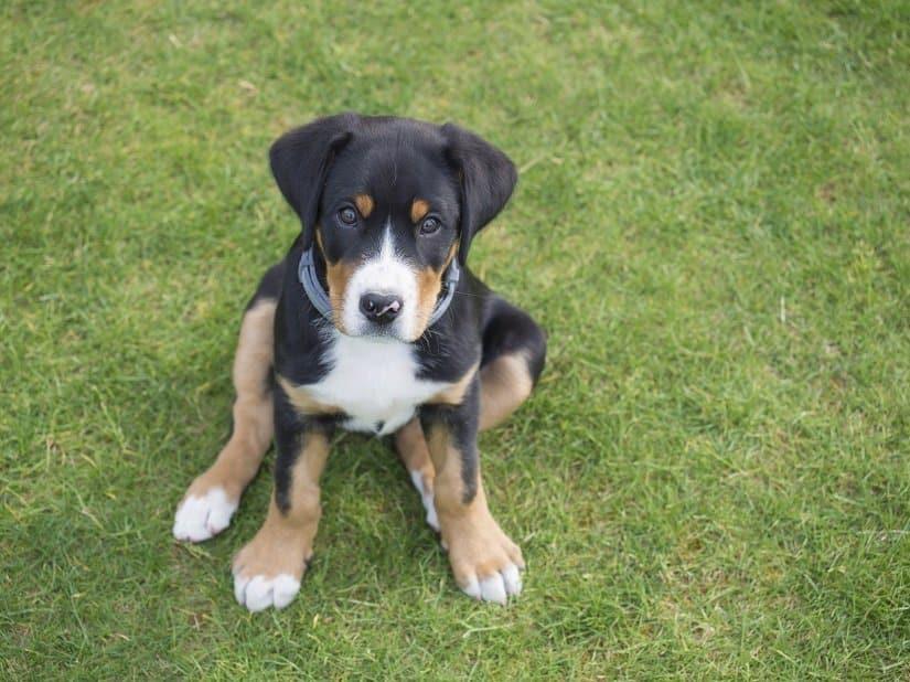 Großer Schweizer Sennenhund Welpe
