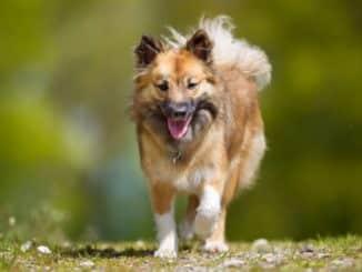 Der Islandhund