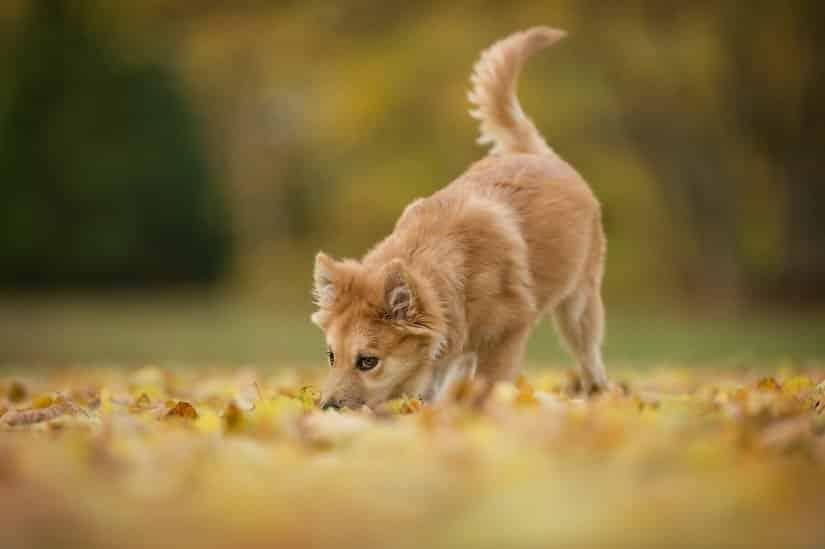 Islandhund Welpen kaufen