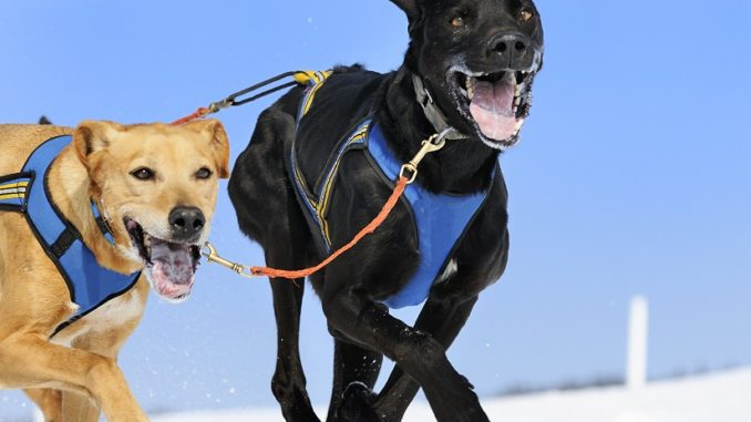 Hundegeschirr für ziehende Hunde