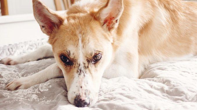 Liegeschwielen beim Hund