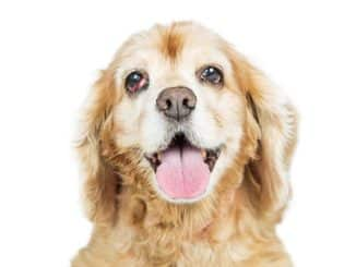 Nickhautvorfall beim Hund
