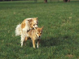 Die chemische Kastration beim Hund