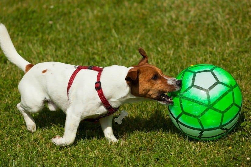 Jack Russell Terrier spielt mit einem Ball