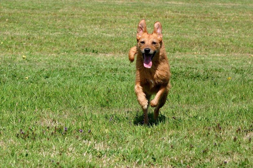 Fiter Hund rennt