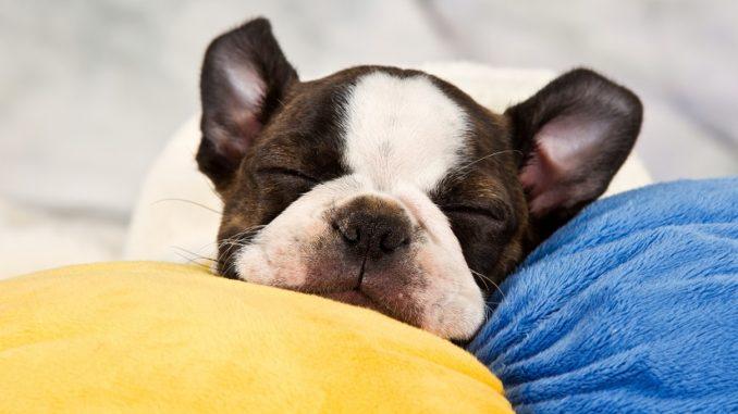 Wie viel Schlaf brauchen Hunde?