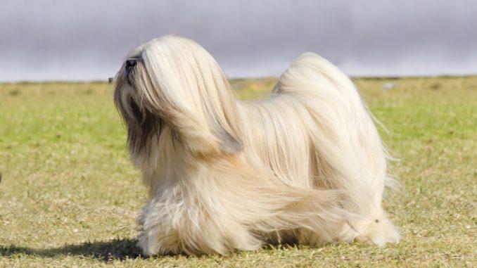 Der Tibet-Terrier