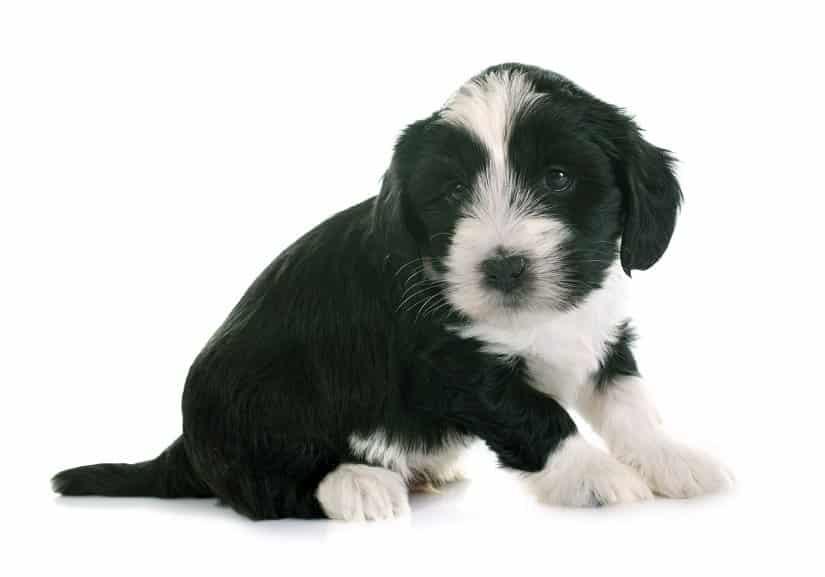 Tibet-Terrier-Welpe