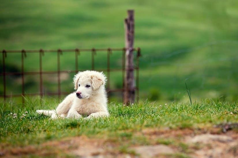 Welpe vom Pyrenäenberghund