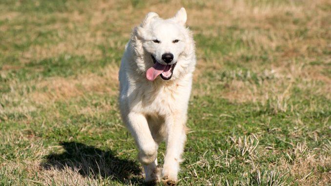 Der Pyrenäenberghund