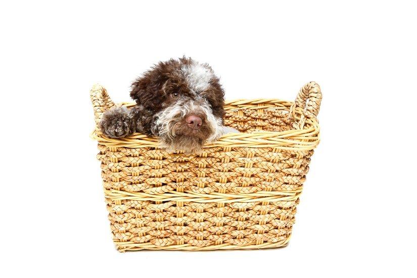 Italienischer Wasserhund Welpe