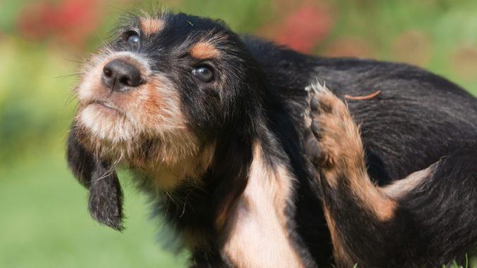 Mittel gegen Läuse beim Hund