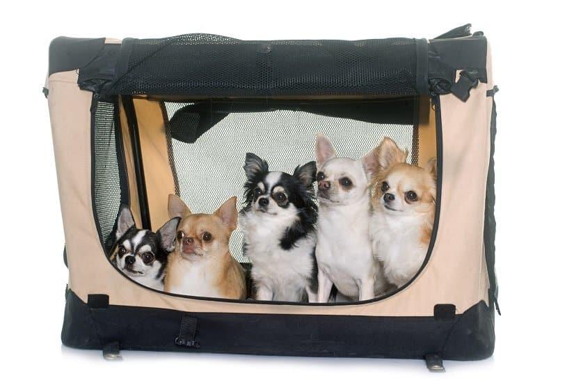 Mehrere Chihuahuas in einer faltbaren Hundebox