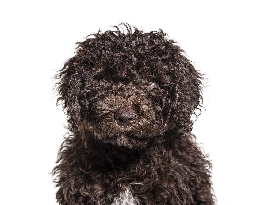 Spanischer Wasserhund Welpe