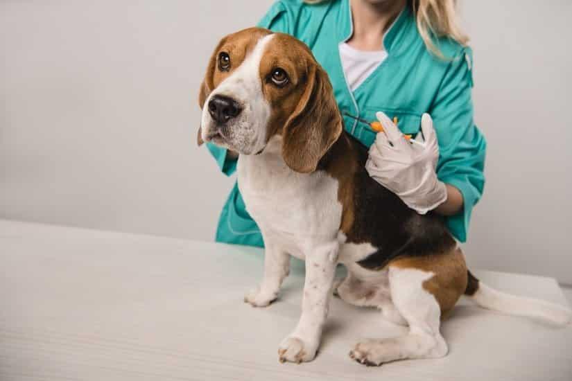 Der Tierarzt bzw. die Tierärztin setzt den Mirko-Chip  mithilfe einer Kanüle unter der Haut ein und trägt die 15-stellige Identifikationsnummer in dem EU-Heimtierausweis ein