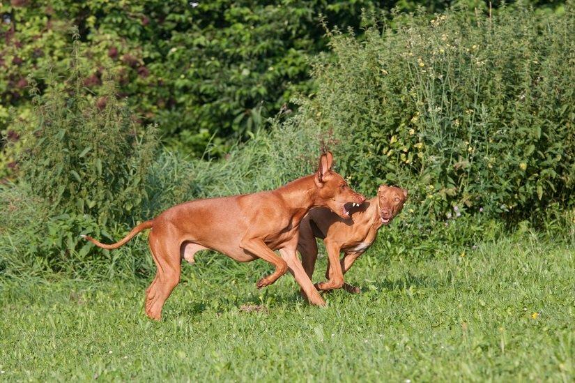 Zwei verspielte Pharaonenhunde