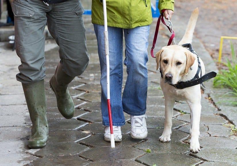 Labrador als Blindenhund